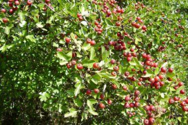 Глог – најраспрострањенија биљка у Невесињу