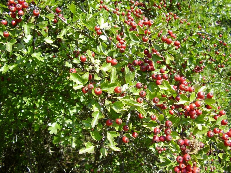 Глог - најраспрострањенија биљка у Невесињу