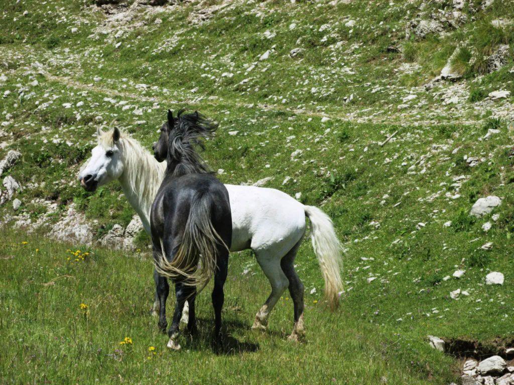Играли се коњи врани (фото: Александар Милидраговић)