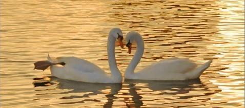 Ljubav-labudova