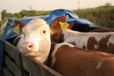Uhapšen lažni trgovac stokom