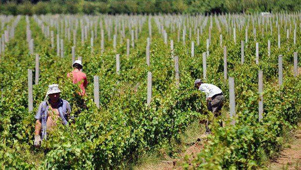 vinogradi-1