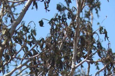 ЉУБИЊЕ У МИНУСУ: Мраз уништио род воћа, штета већа од општинског буџета