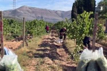 ПОРАНИЛА БЕРБА: Одличан квалитет грожђа у херцеговачким виноградима (ВИДЕО)
