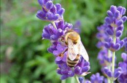 ЖЕТВА ЉЕКОВИТОГ БИЉА У ЉУБИЊУ: Нека вас мирис и укус Херцеговине прати свуда