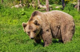 Медвјед у гатачком селу растргао овцу, а пса повриједио
